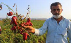 Bursa'da salçalık biberler tarlada çürüyor